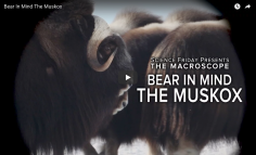 Science Friday, Bear In Mind The Muskox