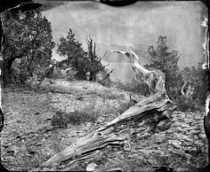 Bristlecone Forest 2012