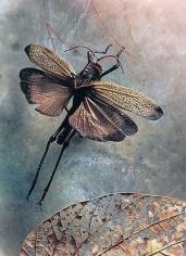 Othoptera: Acrididae taeniopada, Lucifer's Apprenice, 2002