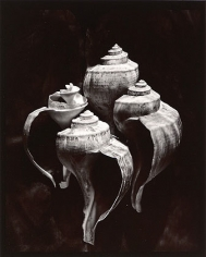 Whelks, 1980, From Lost Objects Portfolio, Toned gelatin silver print, 10 x 8 inches