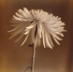 Spider Chrysanthemum hand colored gelatin silver print