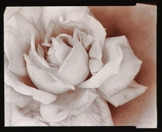 Rose, 1976, From Ephemera Portfolio, Toned gelatin silver print,