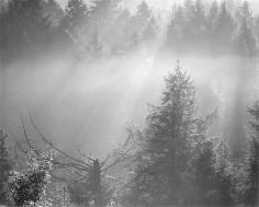 Hemlocks, Morning Mist, 1974
