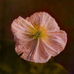 Iceland Poppy II, hand-colored gelatin silver print, 32 x 32 inches