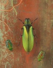 Megaloxantha concolor & Stephanorrhina guttata