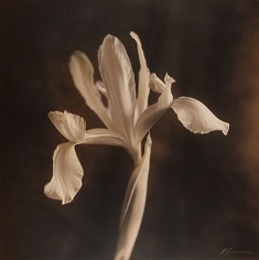 Iris Natasha, 1995, hand-colored gelatin silver print