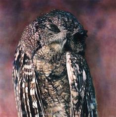 Eastern Screech-Owl II, 1999