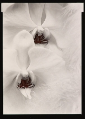 Orchids, 1976, From Ephemera Portfolio, Toned gelatin silver print, 6 3/4 x 5 inches