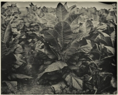 Tobacco, Hawesville, Kentucky, 2013