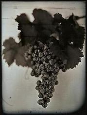 Chuck Close, Red Wine Grapes 1, 2007, 30 x 23 in.