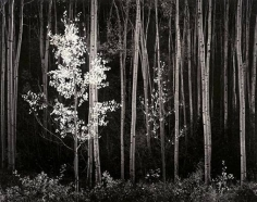 Ansel Adams, 	Aspens. Northern New Mexico. 1958