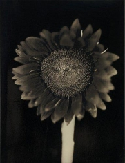 Chuck Close, 	Sunflower, 2007