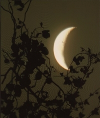 Crescent Moon, Ivy.  2002