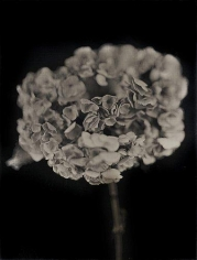 Chuck Close, Hydrangea, 2007