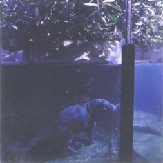 Lucinda Devlin Miniature Hippopotamus, Zoo Berlin