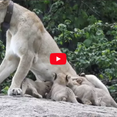 Mwiba Lioness with 5 new cubs
