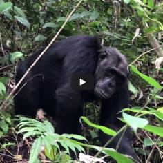 Chimp trekking, Tanzania