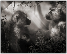 Nick Brandt, Baboons in Profile, Amboseli, 2007