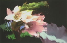 Lillian Bassman, Flower 17 (Pale Pink Blossoms), 2006