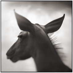 Nick Brandt, Kudu Against Sky, Laikipia, 2003