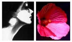 Lillian Bassman, Lisa Fonssagrives, Harper's Bazaar, circa 1950 / Flower 28 (Pink Mallow), 2006