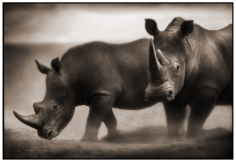 Nick Brandt, Two Rhinos, Lewa Downs, 2003