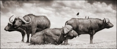 Nick Brandt, Buffalo Group Portrait, Amboseli, 2006