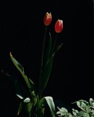 Horst, Tulips, c. 1985