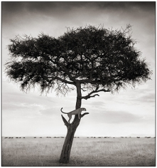 Nick Brandt, Cheetah in Tree, Maasai Mara, 2003