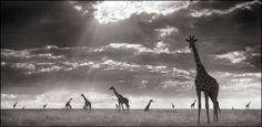 Nick Brandt, Giraffes in Evening Light, Maasai Mara, 2006