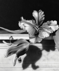 Horst P. Horst, Tulips, Oyster Bay, New York, 1989