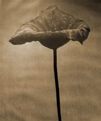 John Stewart, Bunched Lotus Buds
