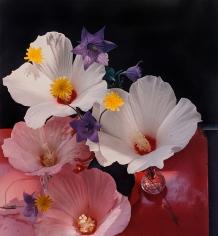 Horst, Hybiscus Platycum, c. 1985