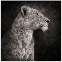 Nick Brandt, Portrait of Lioness Against Rock, Serengeti, 2007