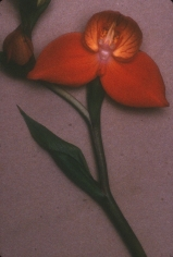 Sheila Metzner, From Life (Orange orchid with green stem), 2000