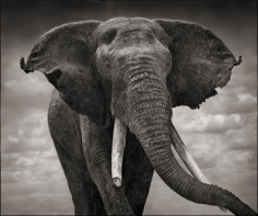 Nick Brandt, Elephant with Tattered Ears, Amboseli, 2008