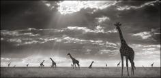 Nick Brandt, Giraffes in Evening Light, Maasai Mara, 2006