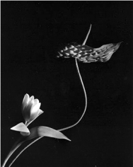 Horst,  Tulip with Anthurium, Oyster Bay, New York, 1989