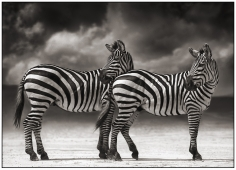 Nick Brandt, Portrait of Two Zebras Turning Heads, Ngorongoro Crater, 2005