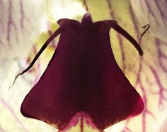 Joel Grey, Orchid (Magenta), circa 2018
