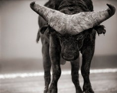 Nick Brandt, Buffalo with Lowered Head, Amboseli, 2007