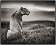 Nick Brandt, Lioness In Crater, Ngorongoro Crater, 2000