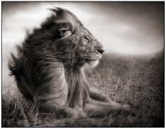 Nick Brandt, Lion Before Storm II (Sitting Profile),  Maasai Mara, 2006