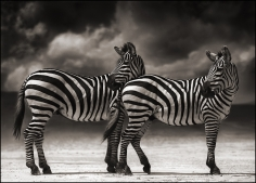Nick Brandt, Zebras Turning Heads, Ngorongoro Crater, 2005