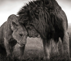 Nick Brandt, Lions Head to Head, Maasai Mara, 2008
