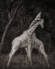 Nick Brandt, Giraffes Battling in Forest,  Maasai Mara, 2008