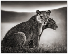 Nick Brandt, Sitting Lionesses, Serengeti, 2002