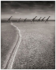 Nick Brandt, Giraffes with Migration Trail, Amboseli, 2007