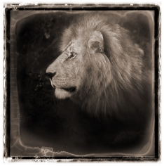 Nick Brandt, Portrait of Lion, Serengeti, 2000