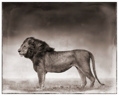 Nick Brandt, Portrait of Lion Standing in Wind,  Masai Mara, 2006